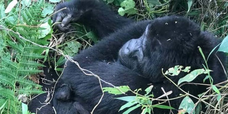 A baby gorilla is born- Africa's greatest conservation success story