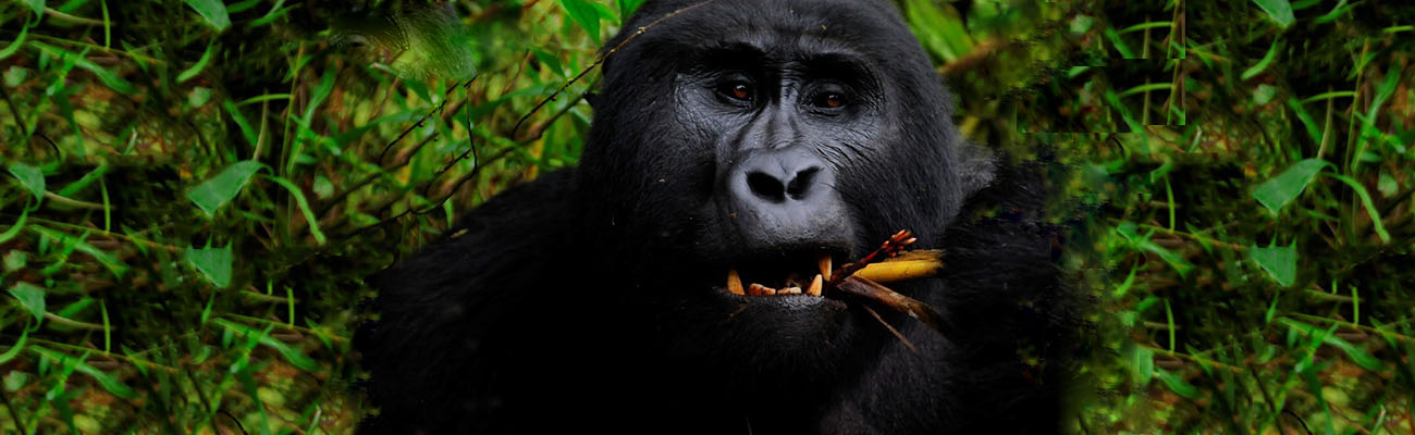 $700 for a Gorilla permit from the year 2020- Still worth the billion-dollar experience